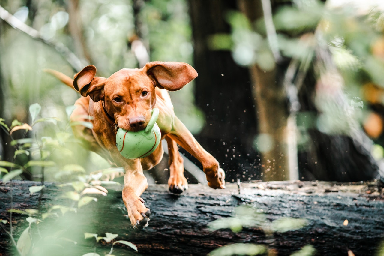 why-do-dogs-like-squeaky-toys