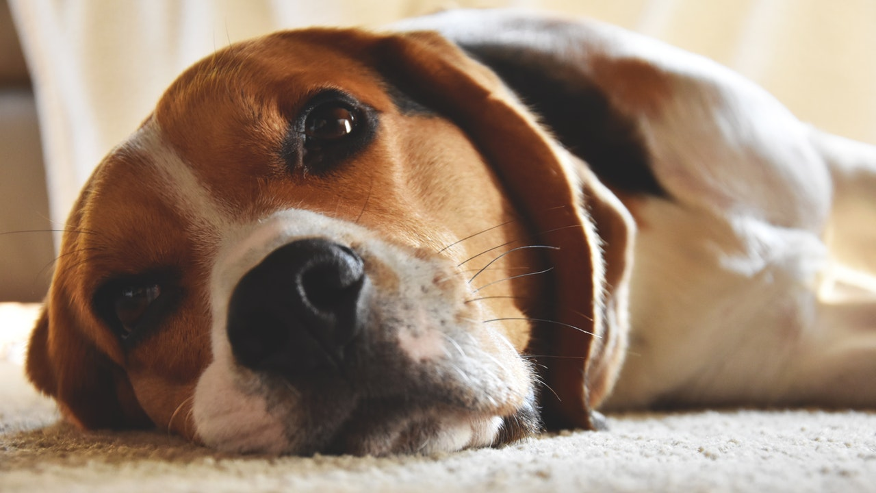 why-do-dogs-have-whiskers