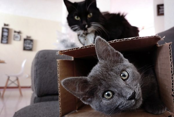 why-do-cats-sit-in-boxes