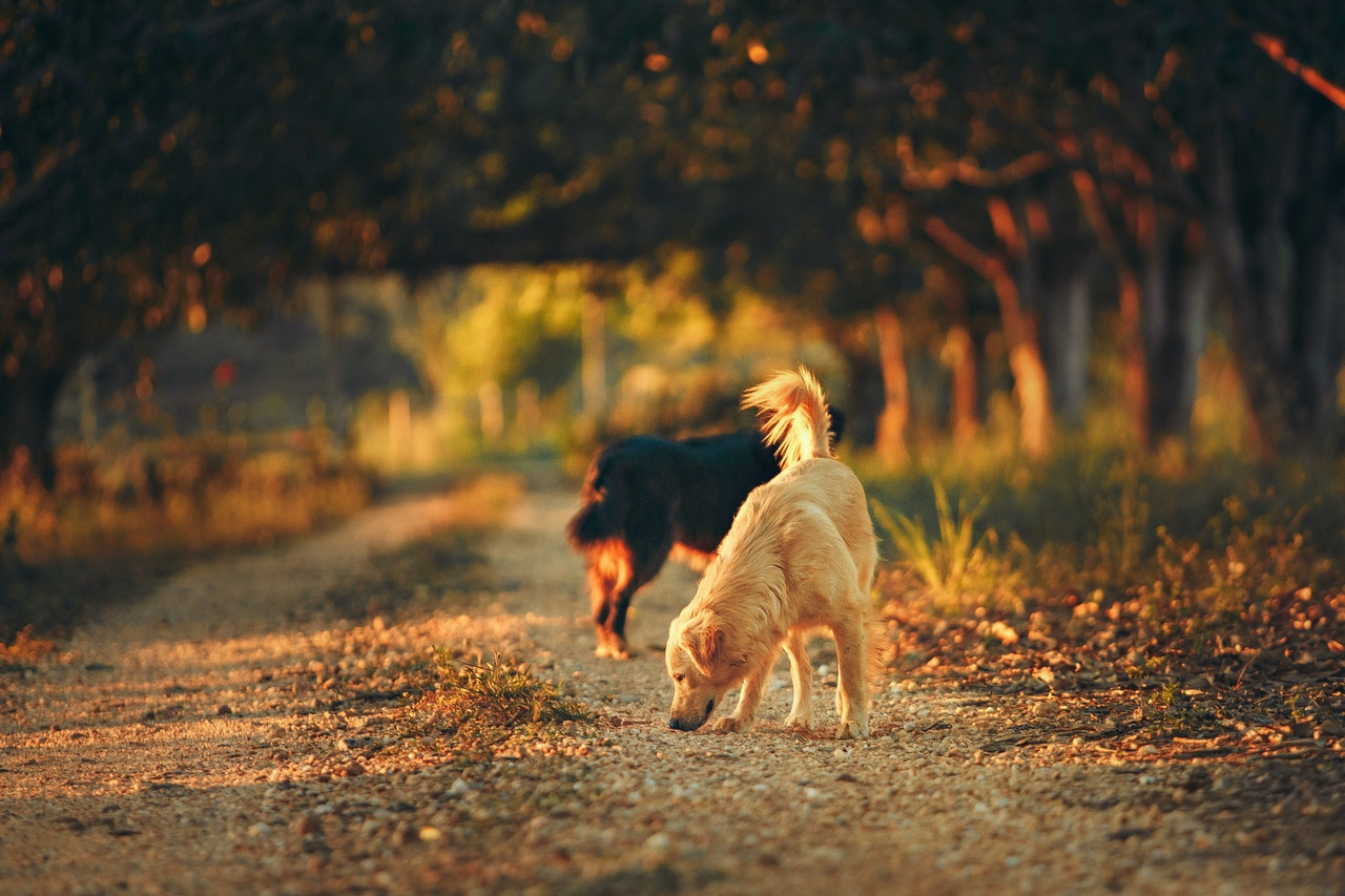 how-long-are-dogs-in-heat